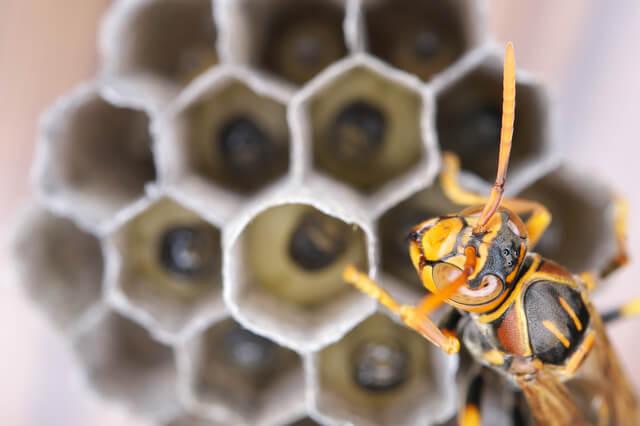 スズメバチ(巣&アップ)