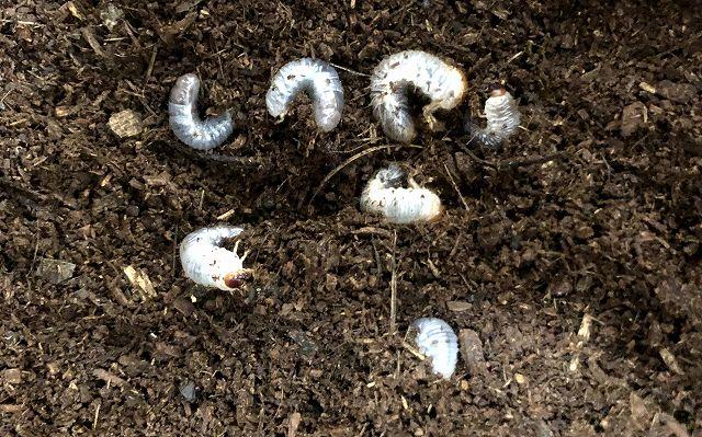 カブトムシ幼虫大量