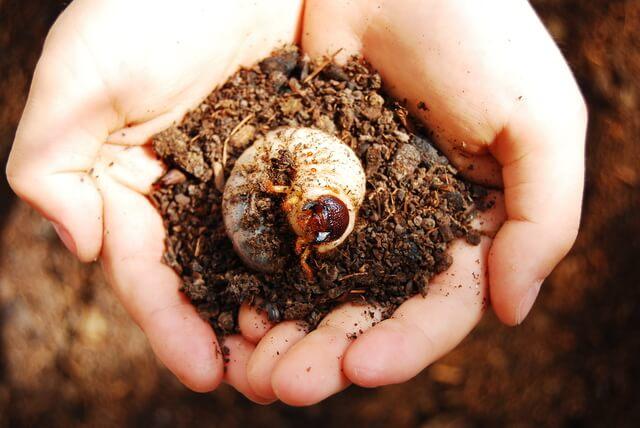 カブトムシの幼虫(手のひら)